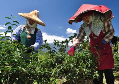 Sběrači taiwanského čaje Oolong