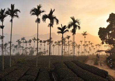 Čajové plantáže Alishan oolong na Tchaj-wanu