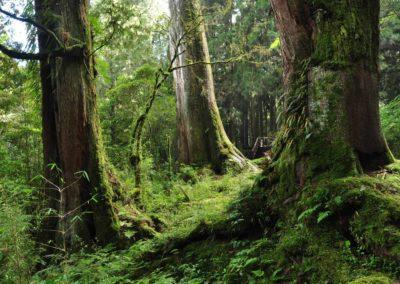 Prastaré cypřišové stromy v pohoří Alishan na Taiwanu
