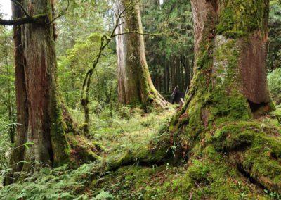 Prales starých cypřišových stromů v oblasti Alishan na ostrově Tchaj-wan