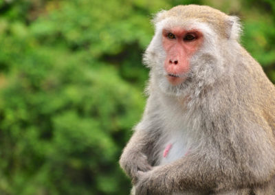 Opice taiwanský makak