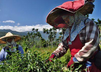 Sběrači taiwanského čaje oolong poblíž města Ruisui
